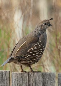 Quail - hen in BC