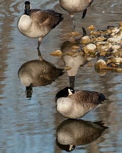 Reflections - Canada Geese - Alberta