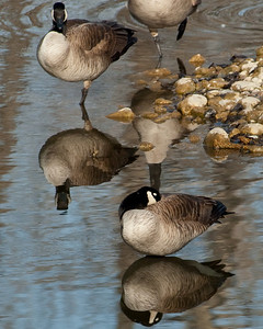 Reflections - Canada Geese - Alberta