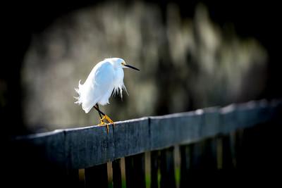 Egret - Texas