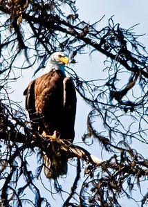 Eagle - BC