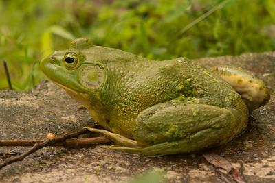 Bullfrog-1290