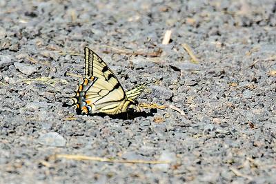 Swallowtail-4169