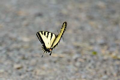Swallowtail-4166