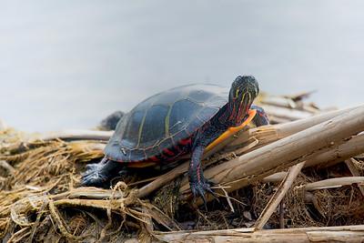 Painted turtle-8719-