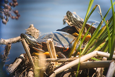 Turtles digi-5110830