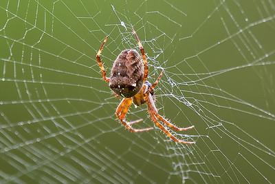 Spider-2496