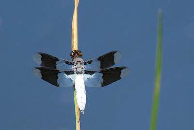 Tatamagouche birds and bugs-0992