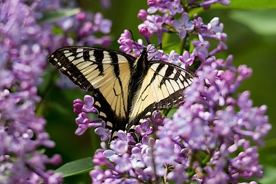 Swallowtail on lilac-0029