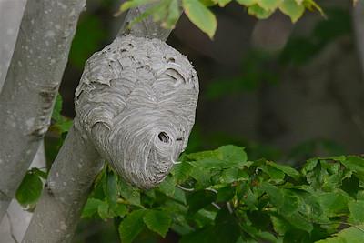Wasp nest-5404