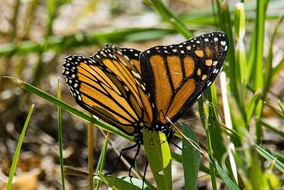 Monarch-1081