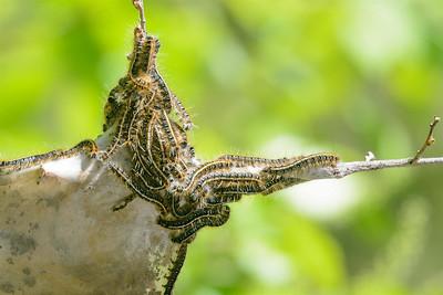 Tent caterpillars-4239