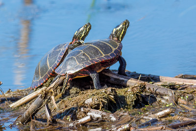 Turtles-8386
