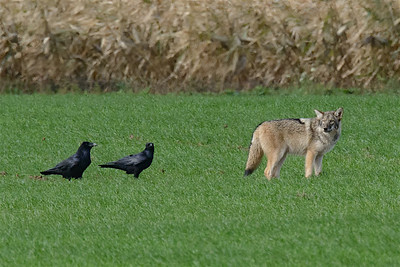 Ravens and Coyote-6541