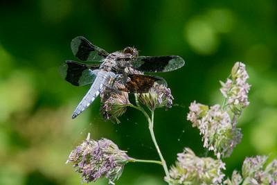 Dragonfly-1673