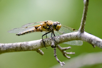 Dragonfly-4443