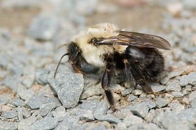 Bumble bee-9768