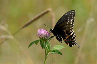 Black swallowtail-2954