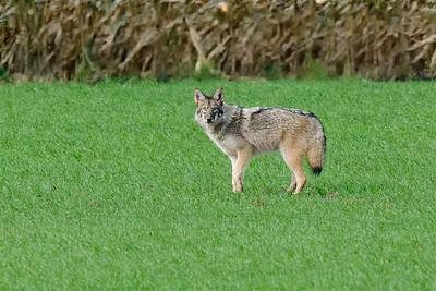 Coyote-6543