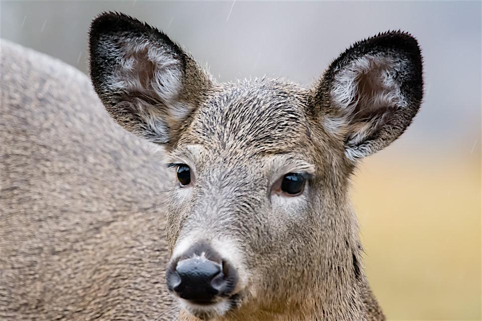 Deer-8133