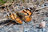 Painted Lady-3555