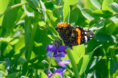 Red admiral-0445