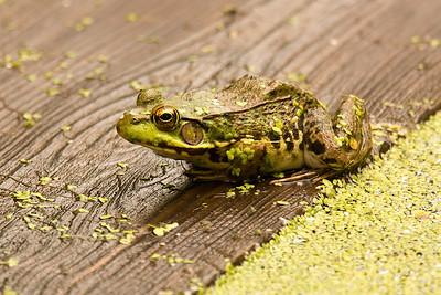 Green frog-1284