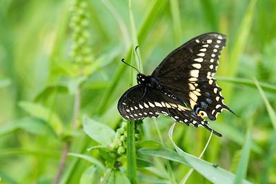 Black swallowtail-1311