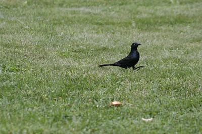 NYS Birds