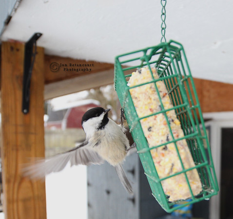 NYS Winter Birds 2015