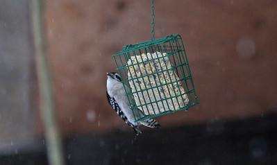 Downy Woodpecker, female