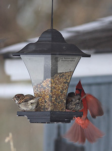 House Sparrows and Northern Cardinal