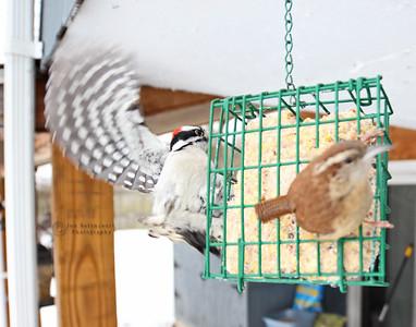 Downy Woodpecker & Carolina Wren