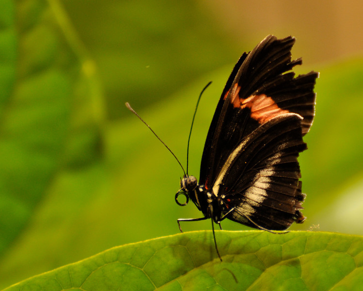 Cattle Heart Butterfly at Smithsonian Natural History Museum