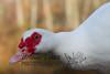 10-14-2011-Nathan_Ducks-1099