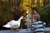 10-14-2011-Nathan_Ducks-1200
