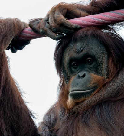 Orangutan & Lemurs