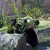 Adult Giant Panda