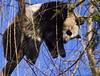 Baby Panda (born 2005) Tai Shan.