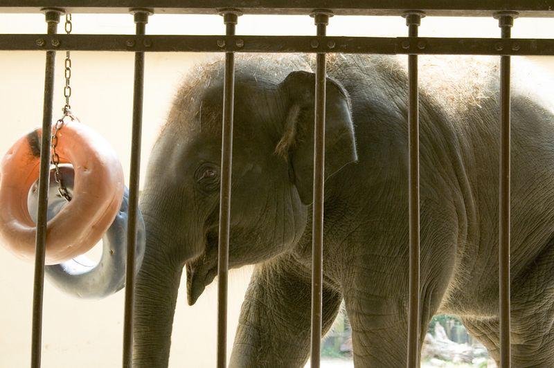 "Elephant, ""Oh good, I love dounuts!"""
