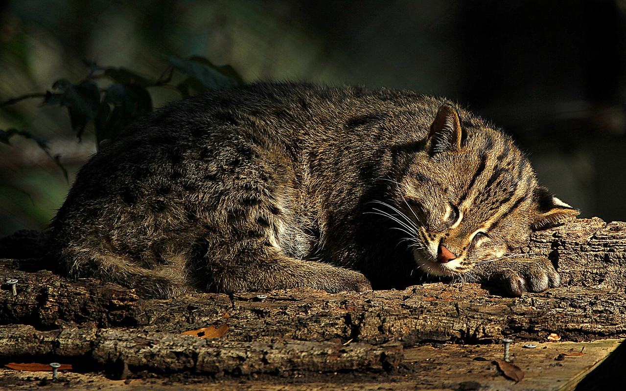 Fishing Cat at National Zoo