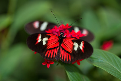 Common postman Butterfly