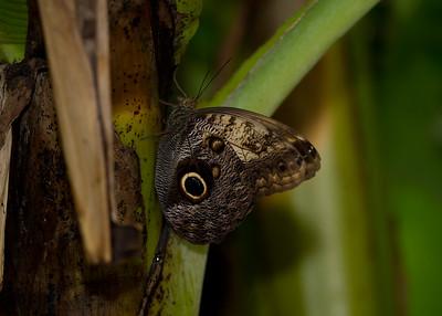 Owl butterfly Butterfly