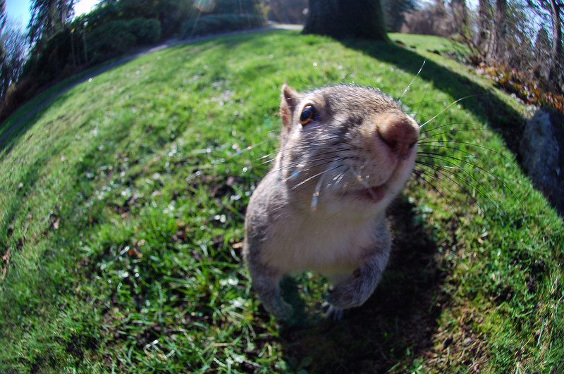 A funny picture of a wild squirrel peering into a 10.5mm fisheye lens<br /> <br /> Professional Wildlife Photography by Christina Craft of the Nature Stock Photography Library
