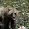 A stock photograph of a grizzly bear during salmon season. Images of grizzlies and Alaskan Brown Bear cubs eating salmon.