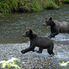 Two grizzly bear cubs run to catch salmon.
