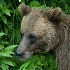 A closeup of a grizzly bear