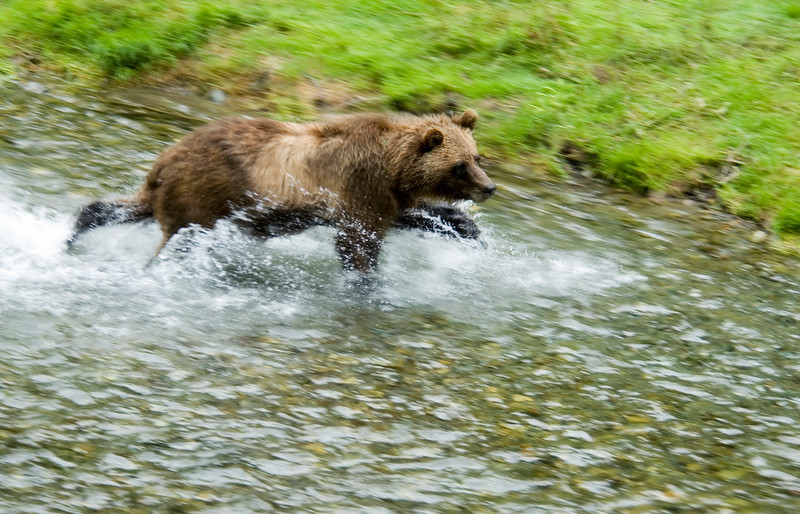 A stock photograph of a grizzly bear running in a narrow creek - a panned motion blur photograph