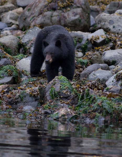 Black Bear hunting for crabs along the shorline of the ocean - Stock Photo by Nature Photographer Christina Craft