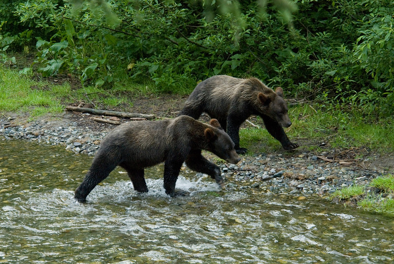Two grizzly bear cubs along a river
